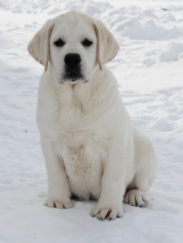 MAPLE CREEK LABRADOR RETRIEVERS - ABOUT OUR KENNEL